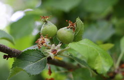 Little green apple ripening on an apple tree Royalty Free Stock Images