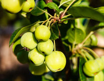 Little Green Apples On An Apple Tree Royalty Free Stock Photo
