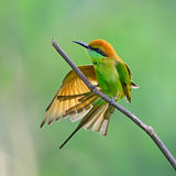 Little Green Bee-eater Stock Images