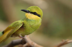 Little green bee Eater Royalty Free Stock Photos