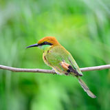Little Green Bee-eater Royalty Free Stock Photo