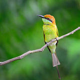 Little Green Bee-eater Stock Photography
