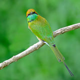 Little Green Bee-eater Stock Photos