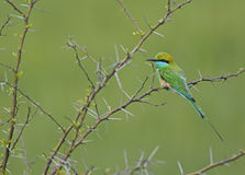 Little green bee Eater Royalty Free Stock Images