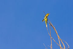 Little Green Bee Eater Bird Royalty Free Stock Photo