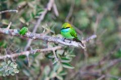 Little Green bee-eater bird. Little Green bee-eater sitting on tree, Yala National Park, Sri Lanka royalty free stock photography