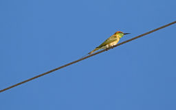 Little Green Bee-eater bird in yellow perching on steel cable, T Stock Photos