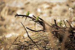 Little green bee eater Stock Photography