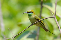 Little Green Bee-eater in the garden at Goa beach, India Stock Photography