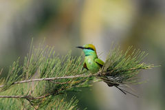 Little Green Bee-eater in the garden at Goa beach, India Royalty Free Stock Photography