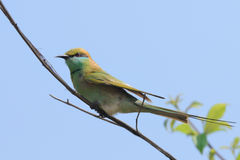 Little Green Bee-eater in the garden at Goa beach, India Royalty Free Stock Image