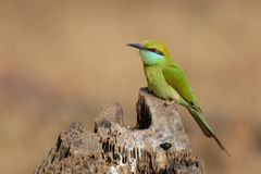 Little Green Bee-eater at Goa beach, India Stock Photo