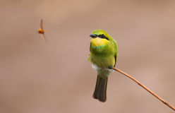Little green bee Eater hunting Royalty Free Stock Photos