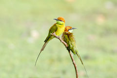 Little Green Bee-Eater Merops orientalis Royalty Free Stock Images
