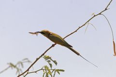 Little green bee-eater Merops orientalis eating a mantis. Stock Photo