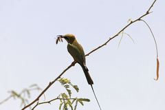 Little green bee-eater Merops orientalis eating a mantis. Stock Photography