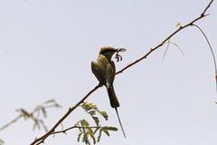 Little green bee-eater Merops orientalis eating a mantis. Stock Photos
