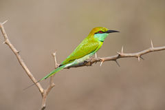 Little Green Bee-eater, Merops orientalis, exotic green and yellow rare bird from Sri Lanka. Little Green Bee-eater, Merops orientalis, exotic Royalty Free Stock Photos