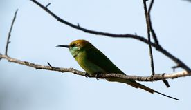 Little Green Bee eater.  Merops orientalis WILD. Royalty Free Stock Photo