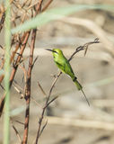 Little green bee-eater on perch Stock Photography