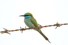 Little Green Bee-eater perching on barbed wire in Sharjah emirat Stock Photos