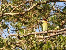 Little green bee eater sitting on a branch, nature Sri Lanka. royalty free stock photography