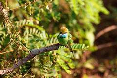 Little Green bee-eater sitting on tree. Yala National Park, Sri Lanka stock photos