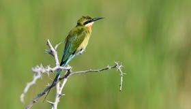 Little Green Bee-eater Stock Image