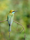 Little Green Bee-eaters perching in the garden at  Goa beach, In Stock Photo