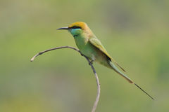 Little Green Bee-eaters perching at Goa beach, India Stock Image