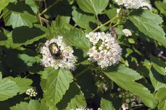 A Little green beetle on elderberry . A small green beetle on a flower of elderberry, green leaves Stock Photo