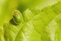 Little green bug sitting on leaf Stock Photo