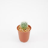 The little green cactus in small brown plant pot Royalty Free Stock Photo