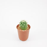 The little green cactus in small brown plant pot Stock Photos