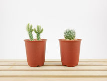The little green cactus in small plant pot on wooden tray. For home decoration stock images