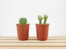 The little green cactus in small plant pot on wooden tray Royalty Free Stock Image