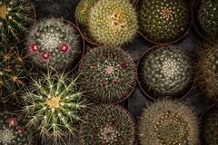 Little Green Cactuses Royalty Free Stock Photo