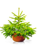 Little green Christmas tree in a pot. Stock Photos