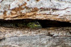 Little green dotted lizard reptile lying on a tree trunk. Small green lizard on big brown tree trunk in the wild nature. Little green gray dotted lizard reptile Stock Photo