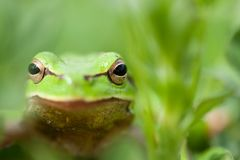 Little green frog Royalty Free Stock Photos