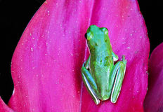 Little Green Frog. A green tree frog rests on a ti plant leaf Stock Image