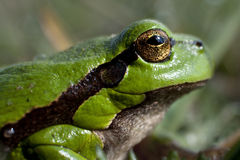 Little green frog Royalty Free Stock Photography
