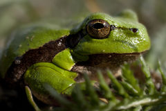 Little green frog Stock Photography