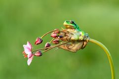 Little green frog Hyla arborea sits on a flower stock images