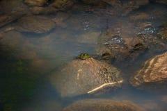 Little Green Frog On Rock Stock Photo
