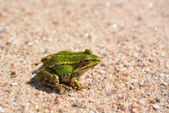 Little green frog Royalty Free Stock Images