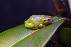Green frog sits on leaf in zoo, Copenhagen royalty free stock images