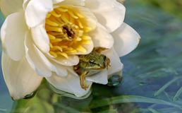 Little Green Frog sitting in a flower white water Lily water lilies. Royalty Free Stock Photography