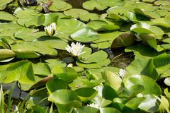 Little green frog on the surface of the water lilies Stock Photos
