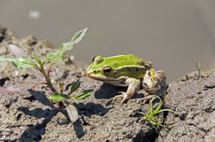 Little green frog. On the wet ground Royalty Free Stock Image